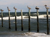 Pelicans perch, not far from Duck Woods on North Carolina's Outer Banks