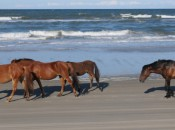 Wild horses will divert the kids while you play the Currituck Club