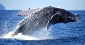 Humpback whales Hermanus