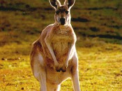 Okay, this kangaroo is not Stuart Appleby, but they are both Australian and I didn't have any pictures of Appleby, who just made golf history by shooting 59!