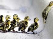 DucklingsSnow
