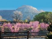 Peach Orchard with Mt. Garfield