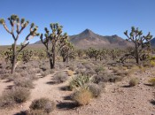 A Joshua tree forest flourishes in the Mojave desert