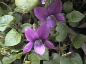 Early blue violet