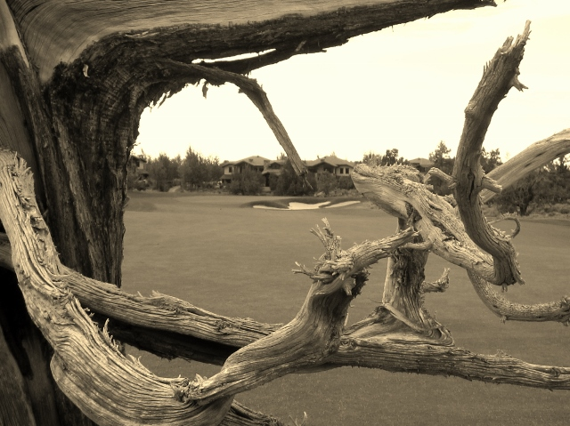 A Ghost Tree frames the eighteenth green at the Pronghorn Nicklaus Course