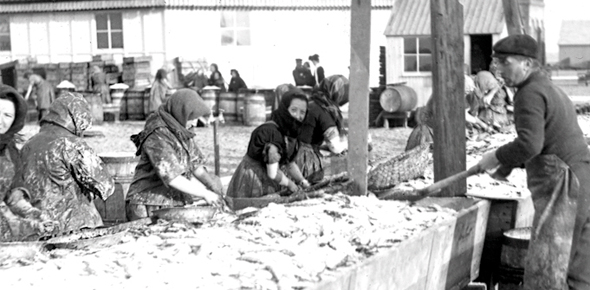 Sorting a herring catch in Lowestoft