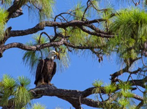 I birdied the tenth hole today, but though there are eagles to be had or seen at Raptor Bay, we came up empty today.