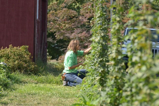 Jessica Snyder tends to the hops at Waredaca Brewing (Photo by Jim Keeley)