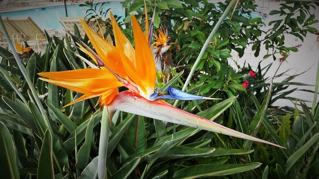 It's a bird, it's a flower--it's the Bird of Paradise flower, poolside at the Park Hyatt Aviara Resort