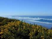Gorse and the view from Pacific Dunes GOlf Course